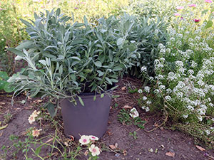 Potted-sage
